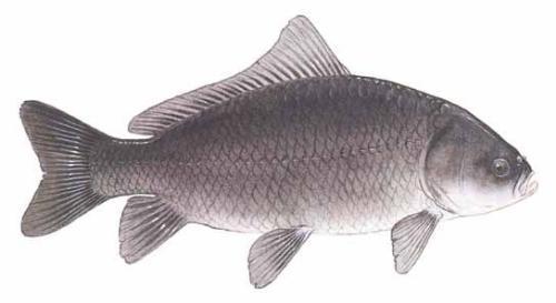 Буффало рыба