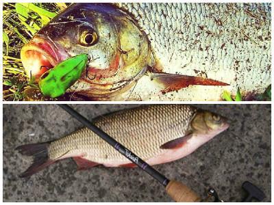 Инструкция по ловле рыбы вашей мечты — Язь на спиннинг