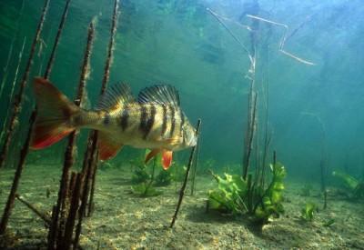 Правила удачной рыбалки: со спиннингом за летним окунем