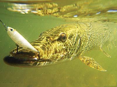 Отводной поводок на щуку: «отведите от себя неудачу» в борьбе с хищником