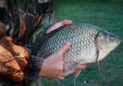 Без труда не вынешь и рыбку из пруда. Как поймать крупного карася?