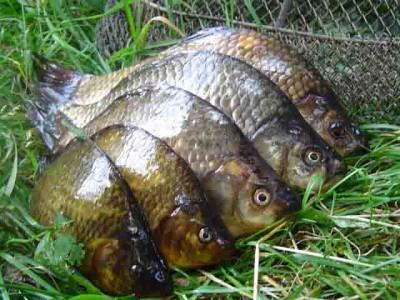 Болезни карася. Как распознать больную рыбу?