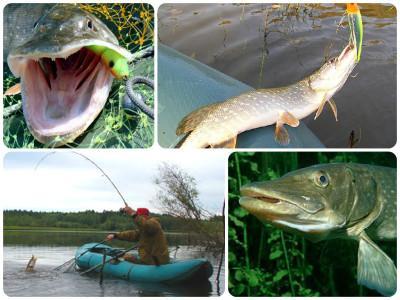 Календарь рыбака: когда лучше ловить щуку на спиннинг?