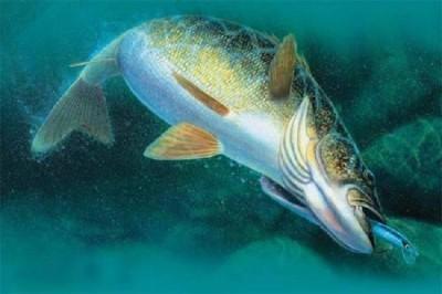 Все что вы хотели знать о ловле судака на спиннинг